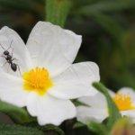 Formica (Lasius niger)