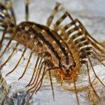 Centopiedi (Scutigera coleoptrata)