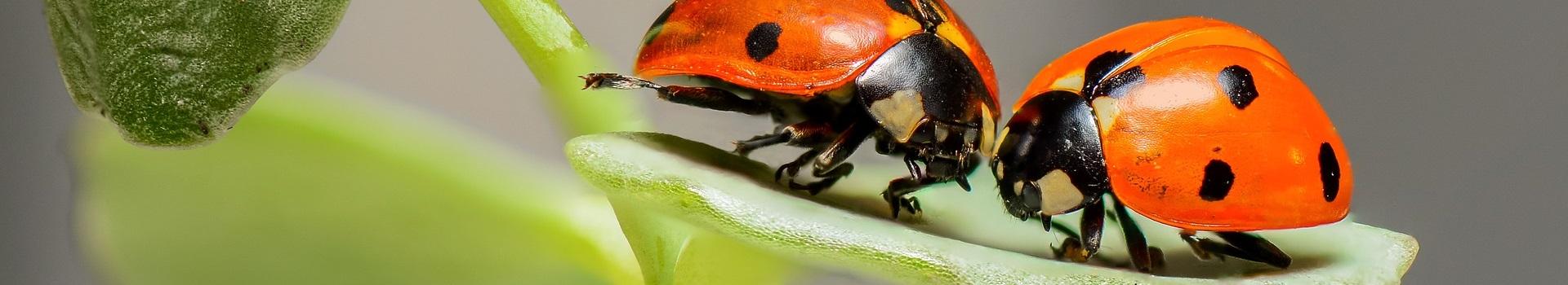 ladybugs-1593406_1920-1