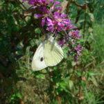 Cavolaia maggiore (Pieris brassicae