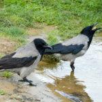 cornacchia (Corvus corone)  © Vasiliy Vishnevskiy